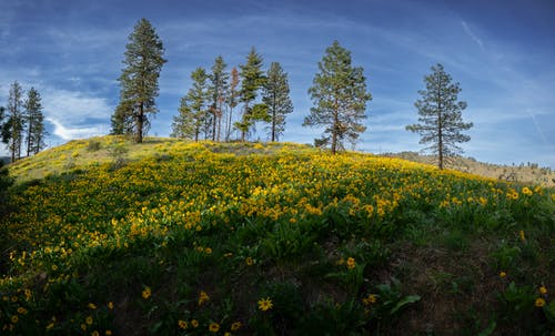 Green Trees and Yellow Flower Field Under Blue Sky