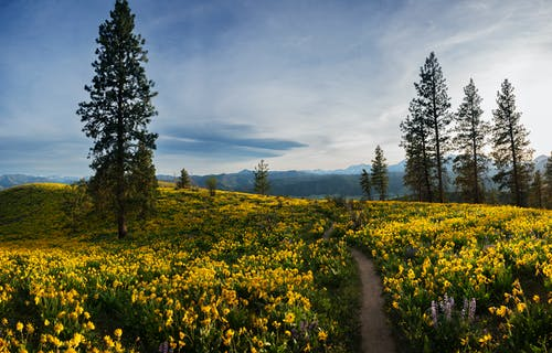 Yellow Flower Field Near Green Trees Under Blue Sky