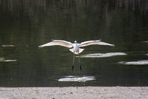 Základová fotografie zdarma na téma létající pták, přistání