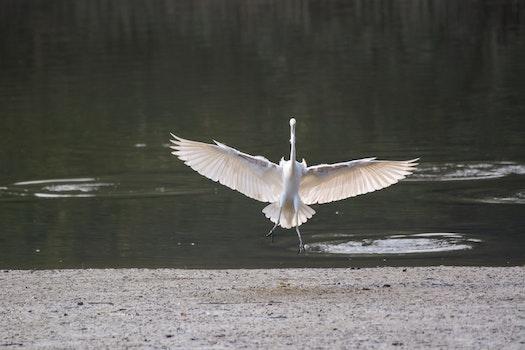 Kostenloses Stock Foto zu vogel, fliege, landung, fliegender vogel