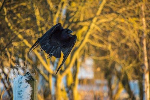 Free stock photo of crow, takeoff