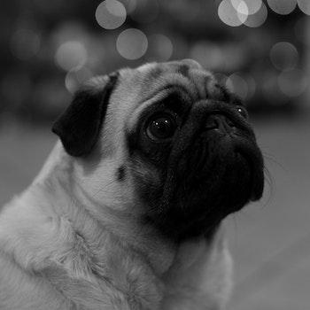 Grayscale Photography of Medium Size Dog