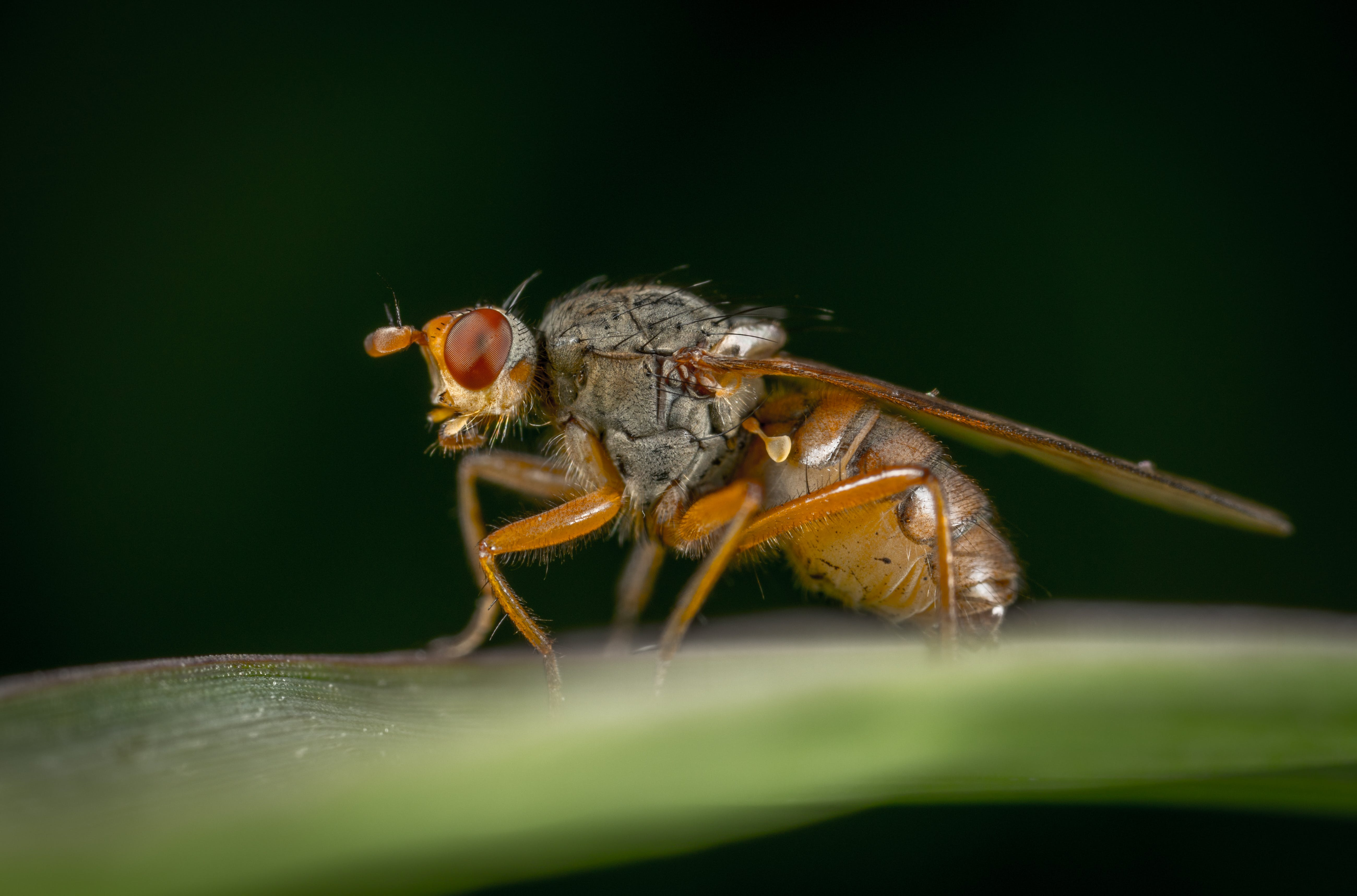 Free stock photo of insect, macro, fly