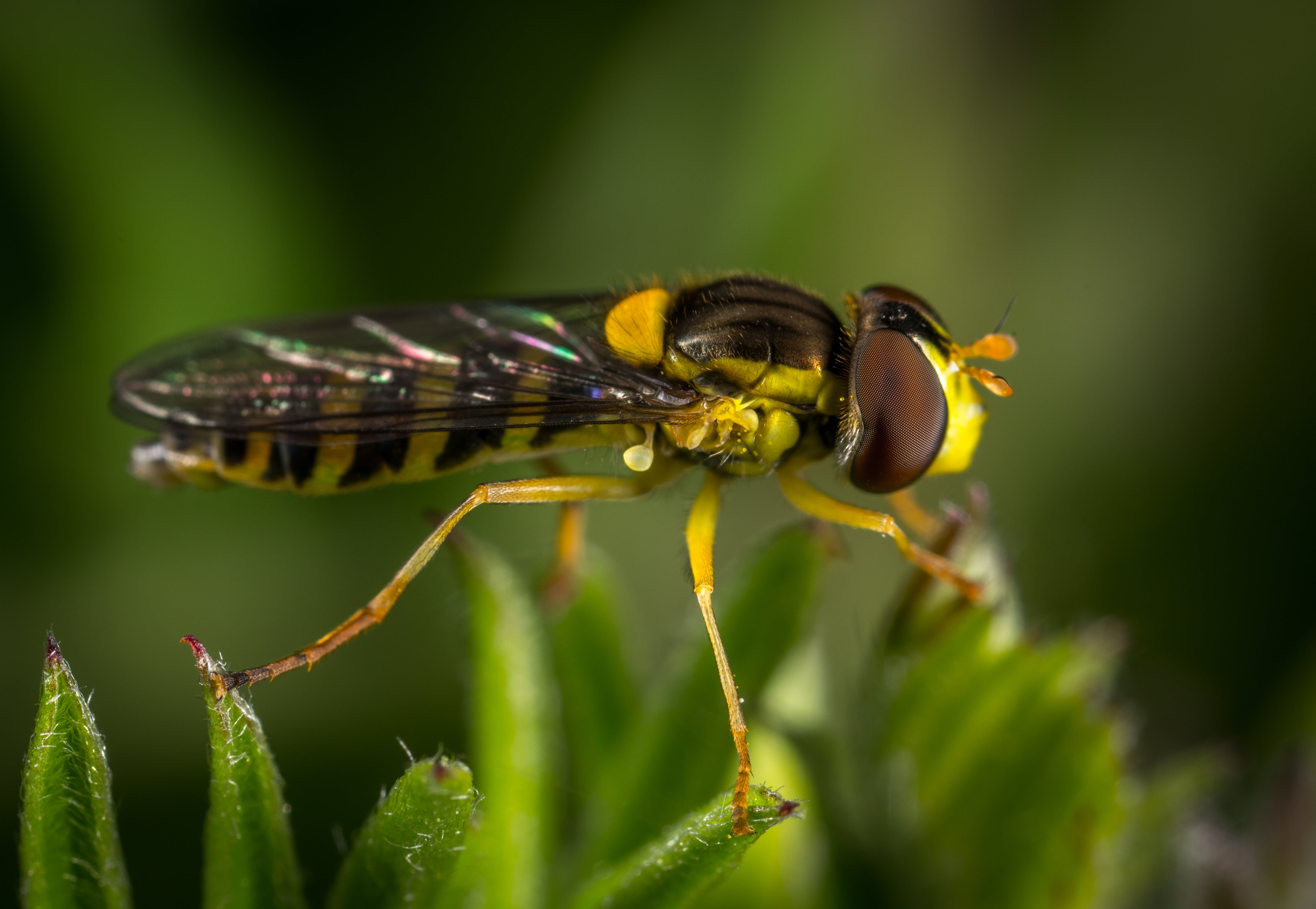 Black And Yellow Insect
