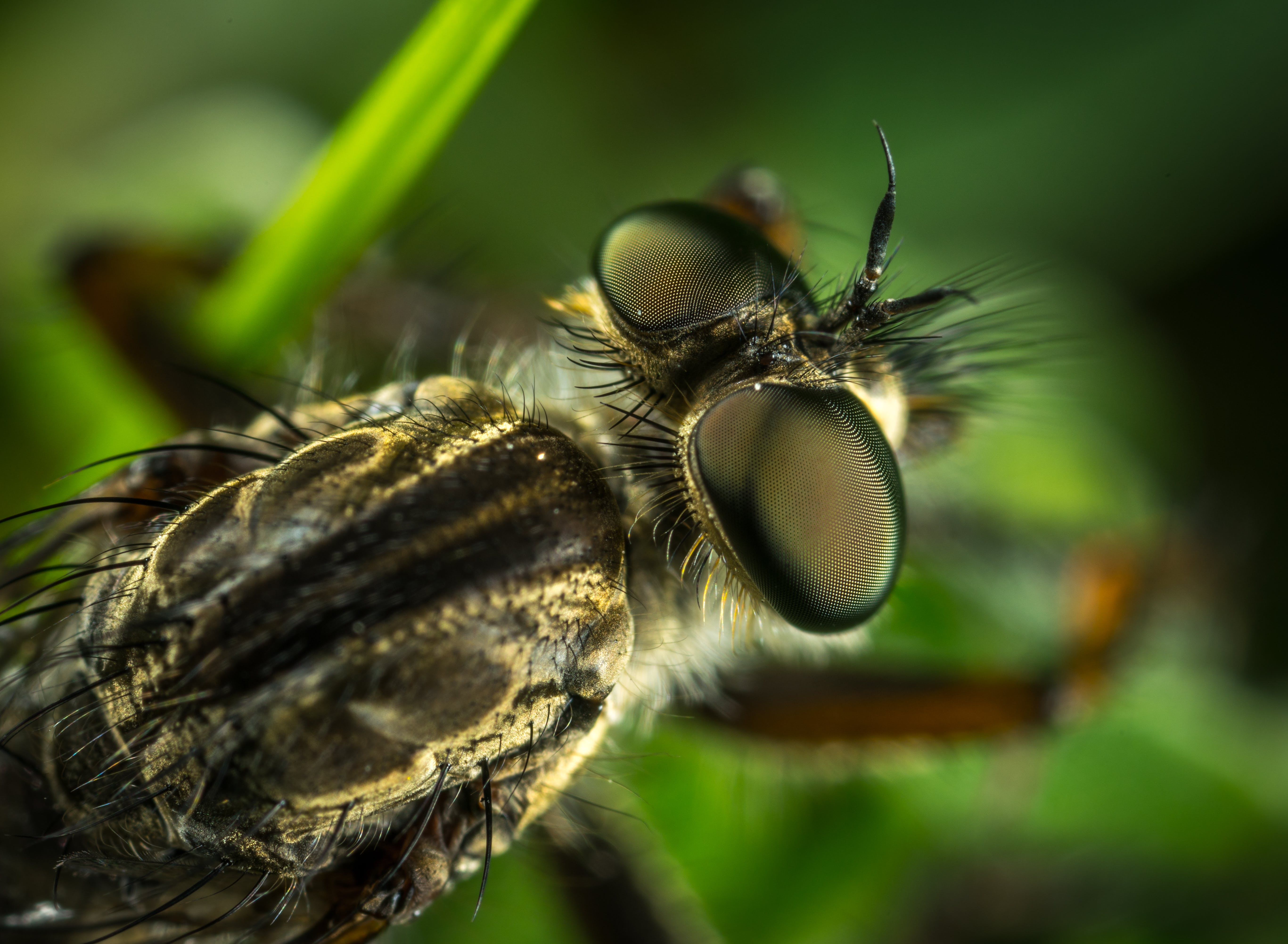 Macro Photography of Robber Fly