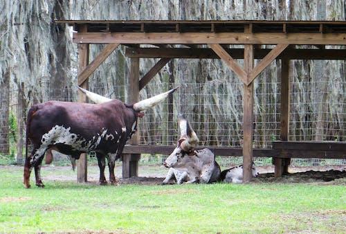 ファーム, ブル, 哺乳類, 大きいの無料の写真素材