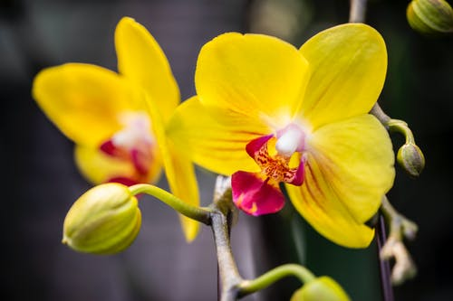 Close-Up Photo of a Yellow Moth Orchid in Bloom