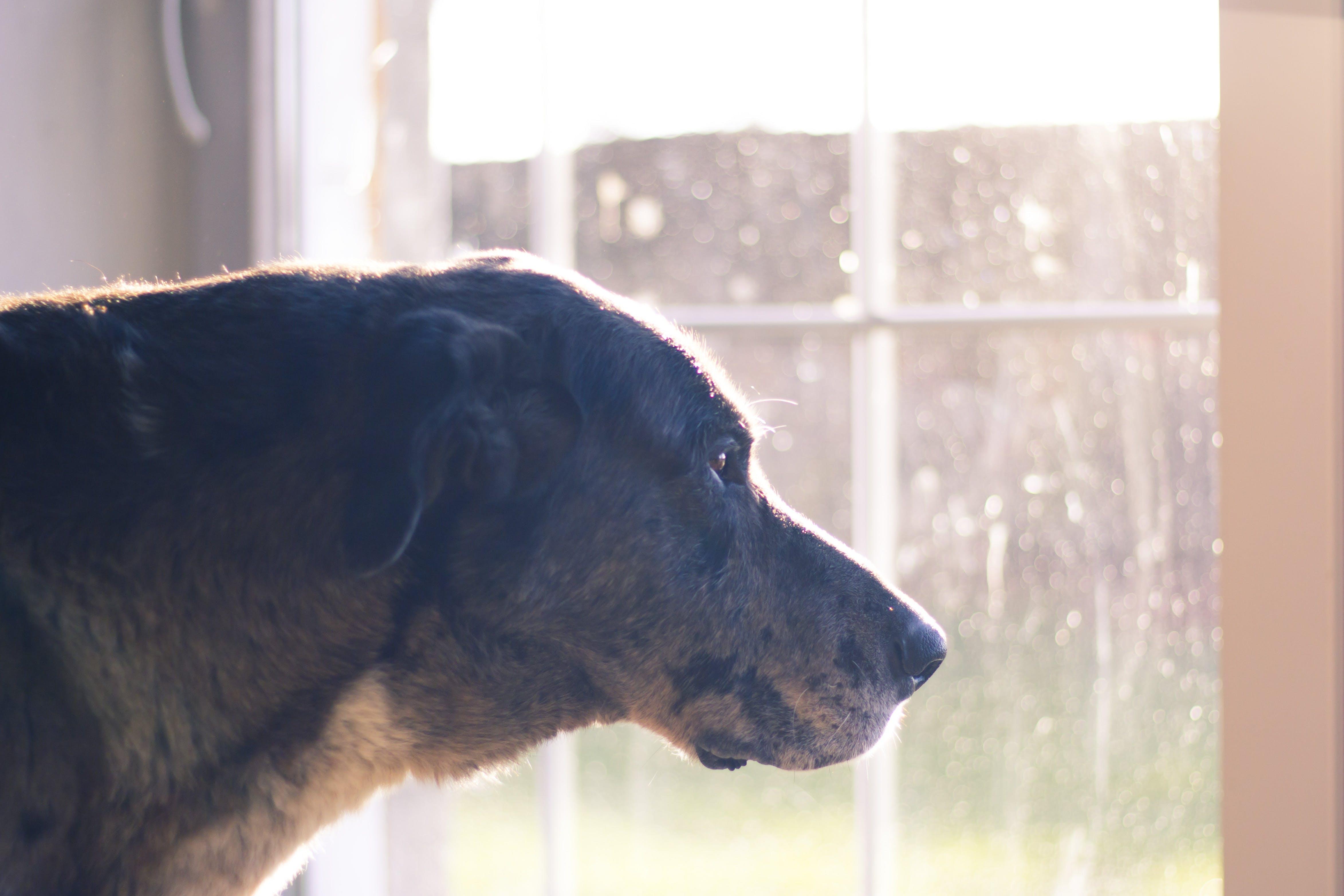 Free stock photo of dog, window