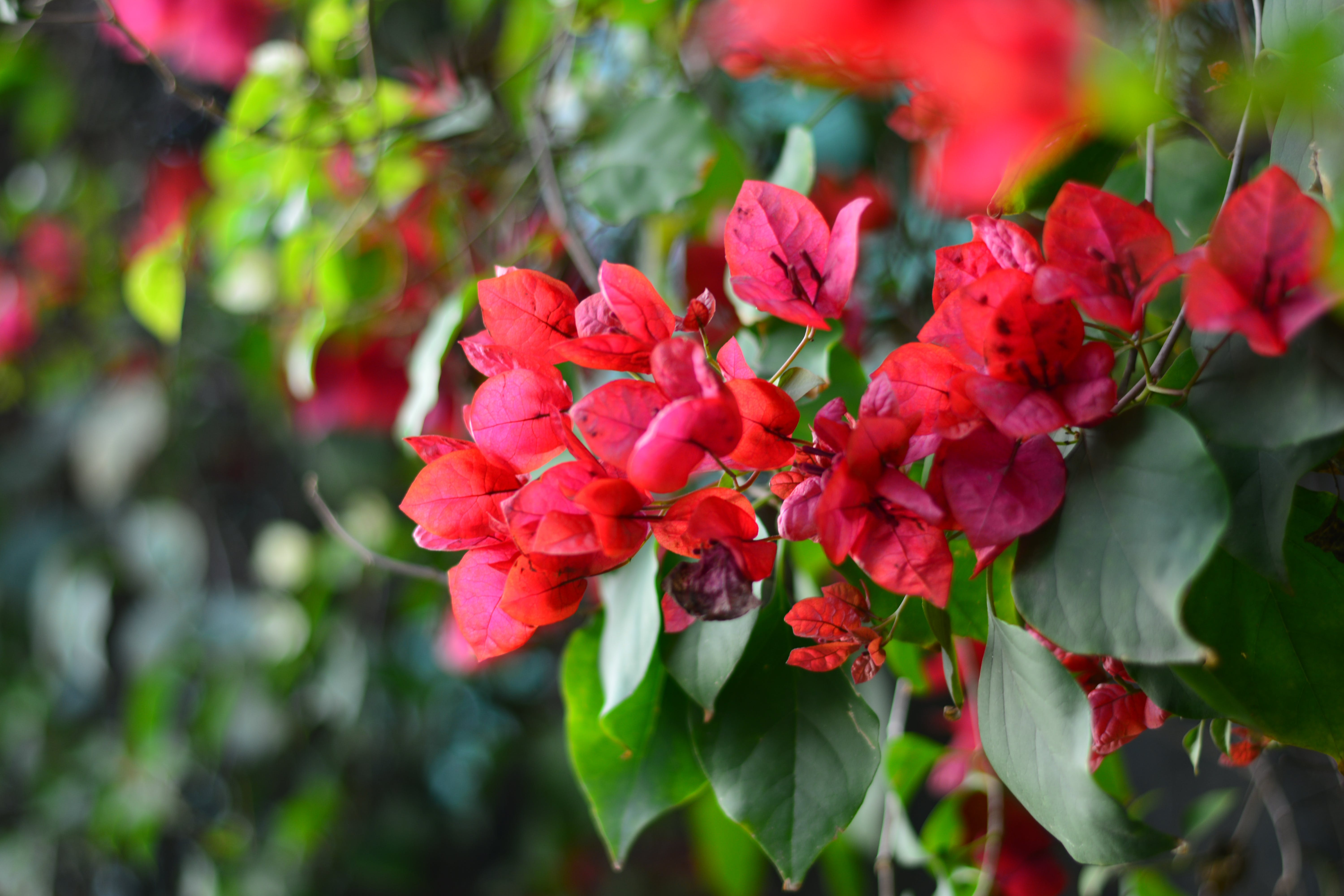 Free stock photo of flowers, red