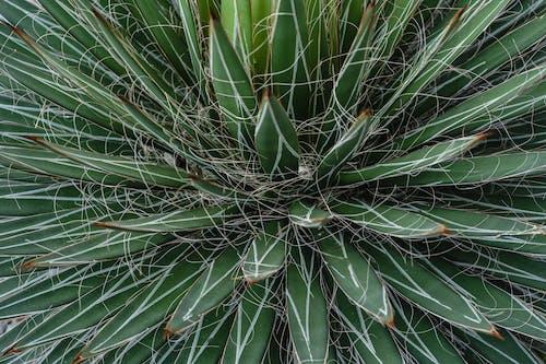 Free stock photo of agave, aloe, back