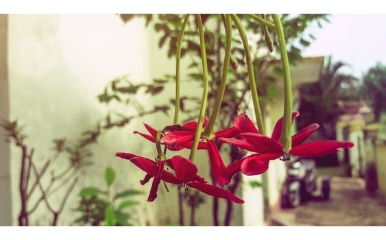 Free stock photo of red, green, india, red flower