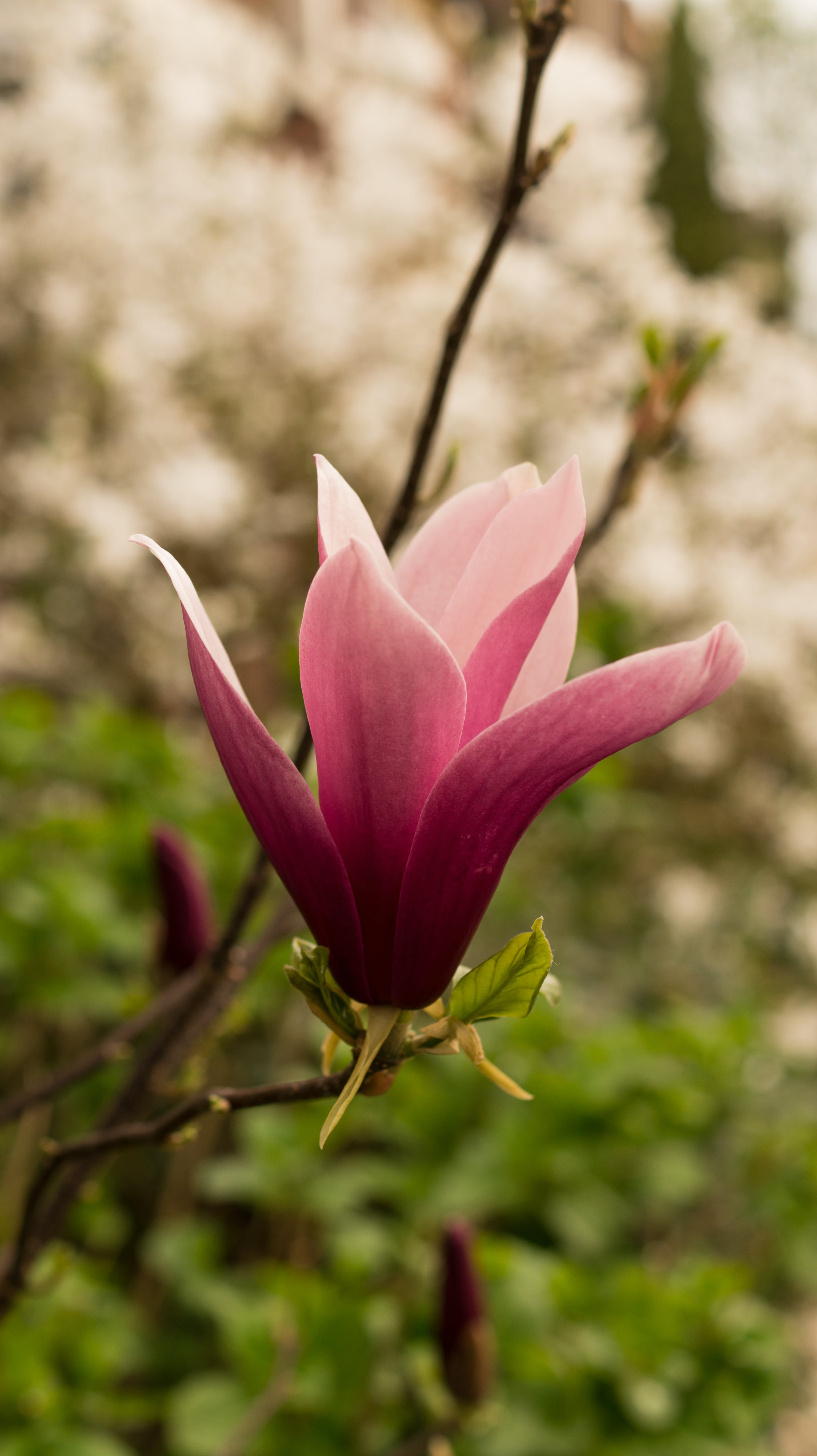 Close-up Photography of Pink Saucer Magnolia Flower