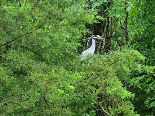 Free stock photo of bird, heron, Yellow Crowned Night Heron