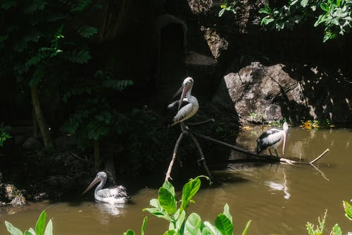 White Pelican on Brown Wooden Stick on River
