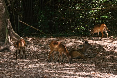 Antelopes Resting Under a Tree