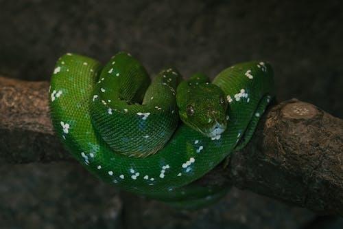 A Close-Up Shot of a Green Python