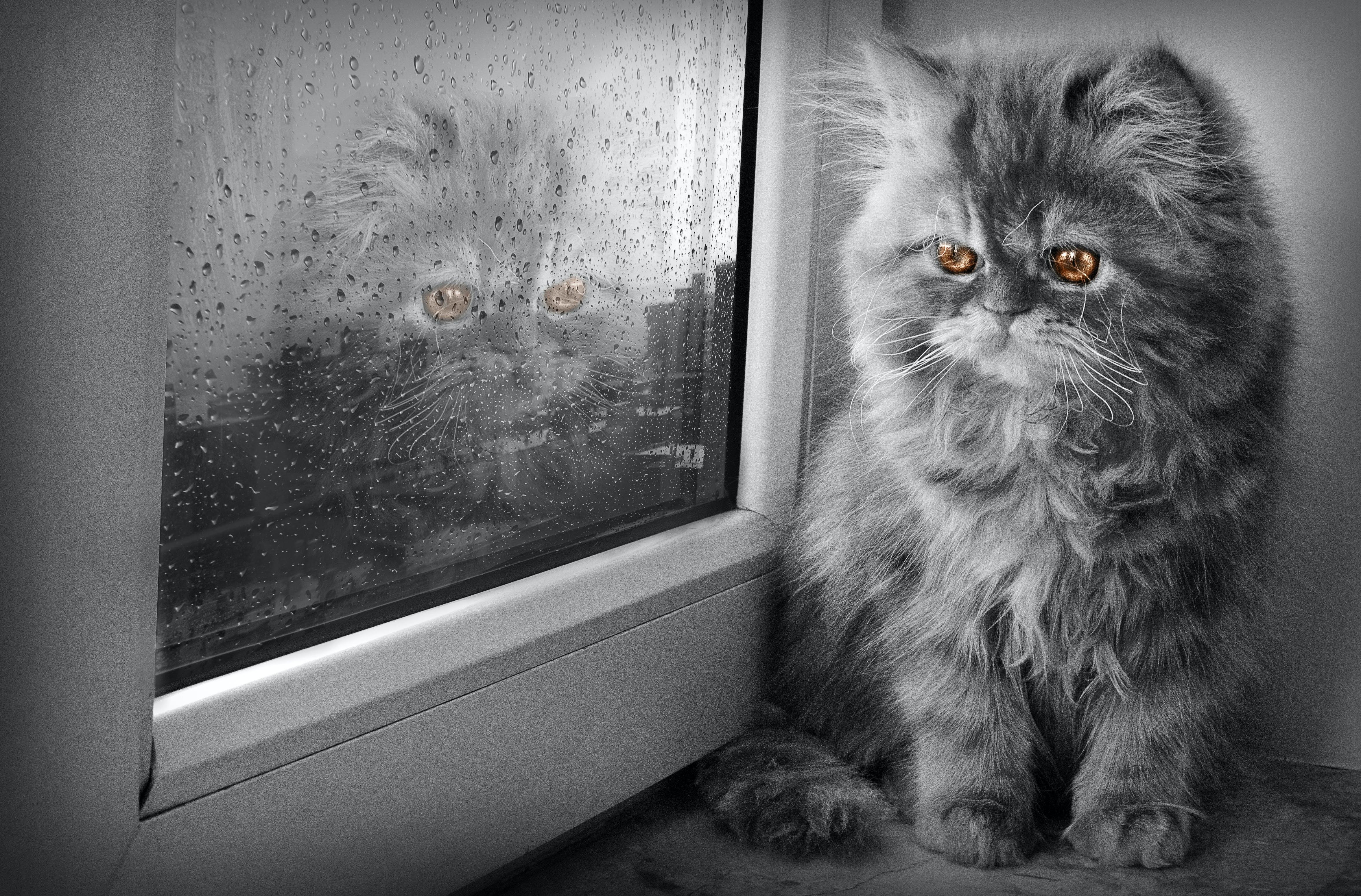 Free stock photo of cat, Persian cat, samad ismayilov