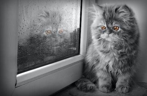 サマド・イスマイロフ, ネコ, ペルシャ猫の無料の写真素材