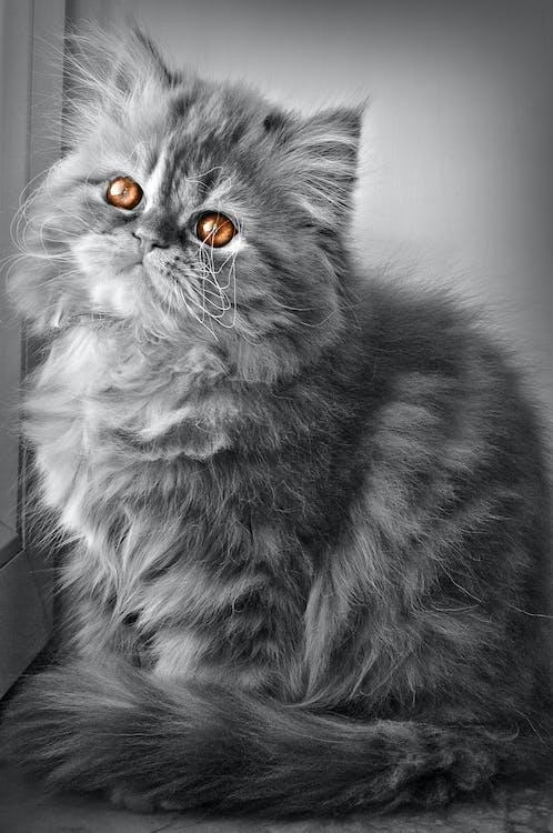 кішка, перська кішка, самад ismayilov