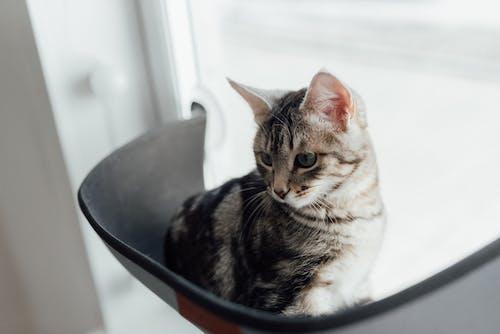 Brown Tabby Cat on Black Ceramic Bowl