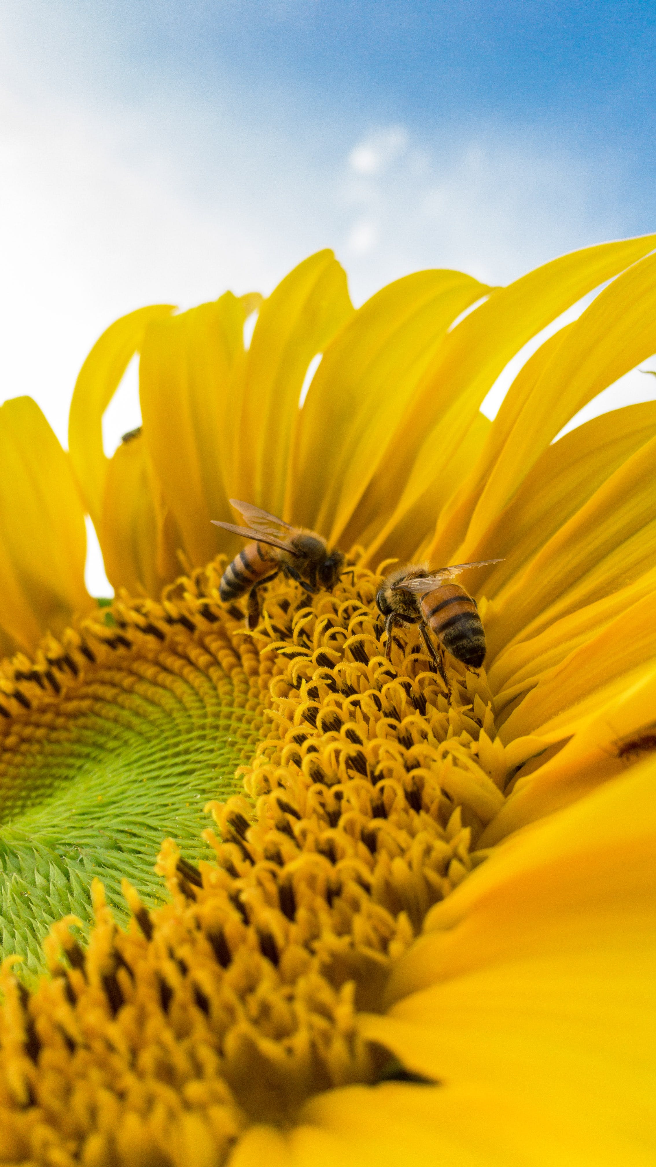 Macro Photo of Bumblebees on Yellow Sunflower