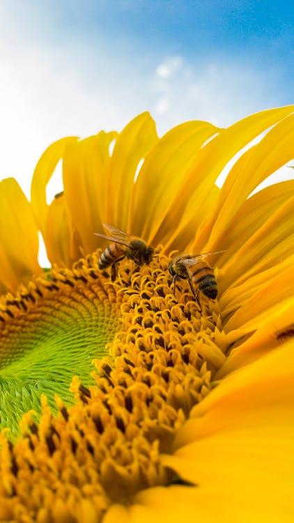 bestøvning, bier, blå himmel