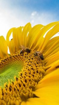 Macro Photo of Bumblebees on Yellow Sunflower