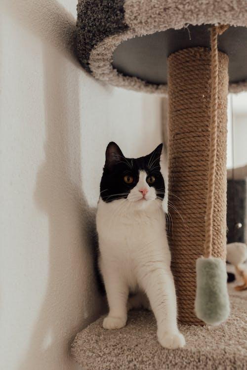A Bicolor Cat Under a Stool
