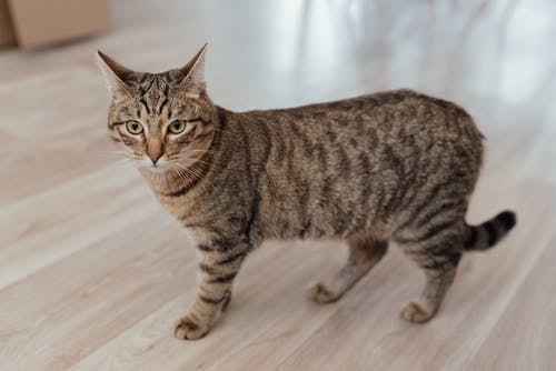 Animal Portrait of a Cat Standing on the Wooden Floor