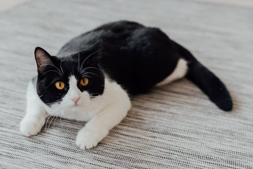 A Black and White Cat Lying on the Carpet