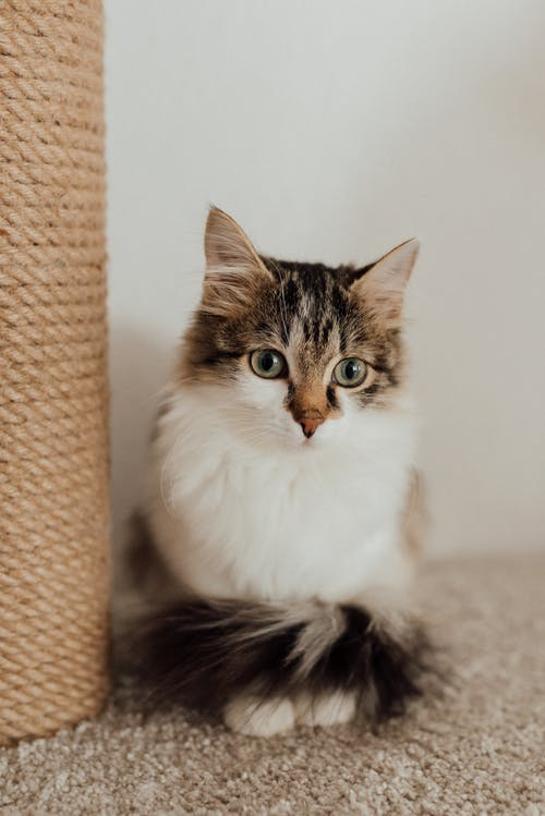 A Cat Sitting on the Carpet