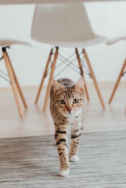 A Tabby Cat Walking on the Floor