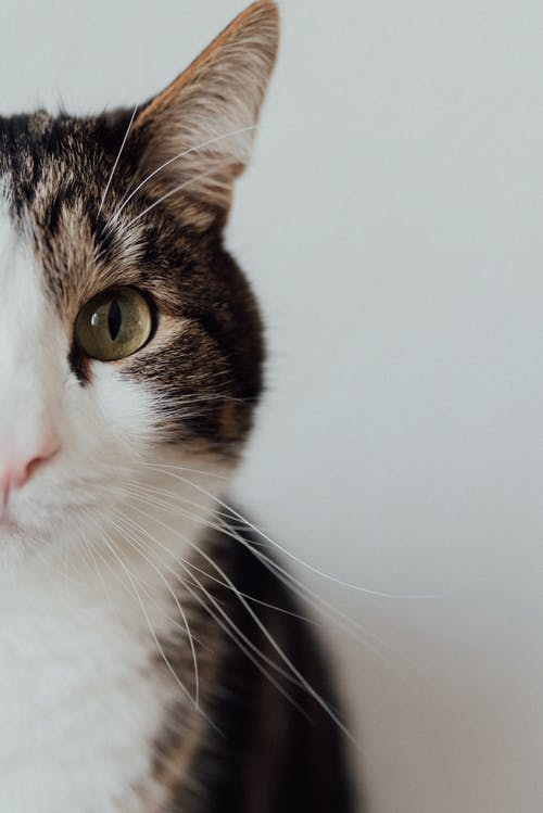 Half Face of a Tabby Cat in Close-up Shot