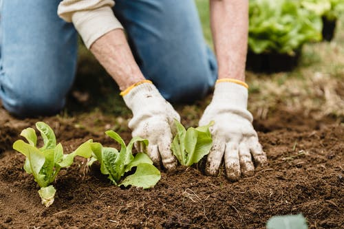 Crop unrecognizable gardener in gloves and jeans planting green plants into fertile soil while working in garden on summer day