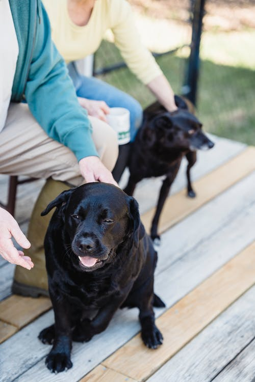 High angle of crop anonymous owners caressing cute black Labrador dogs while sitting on wooden terrace