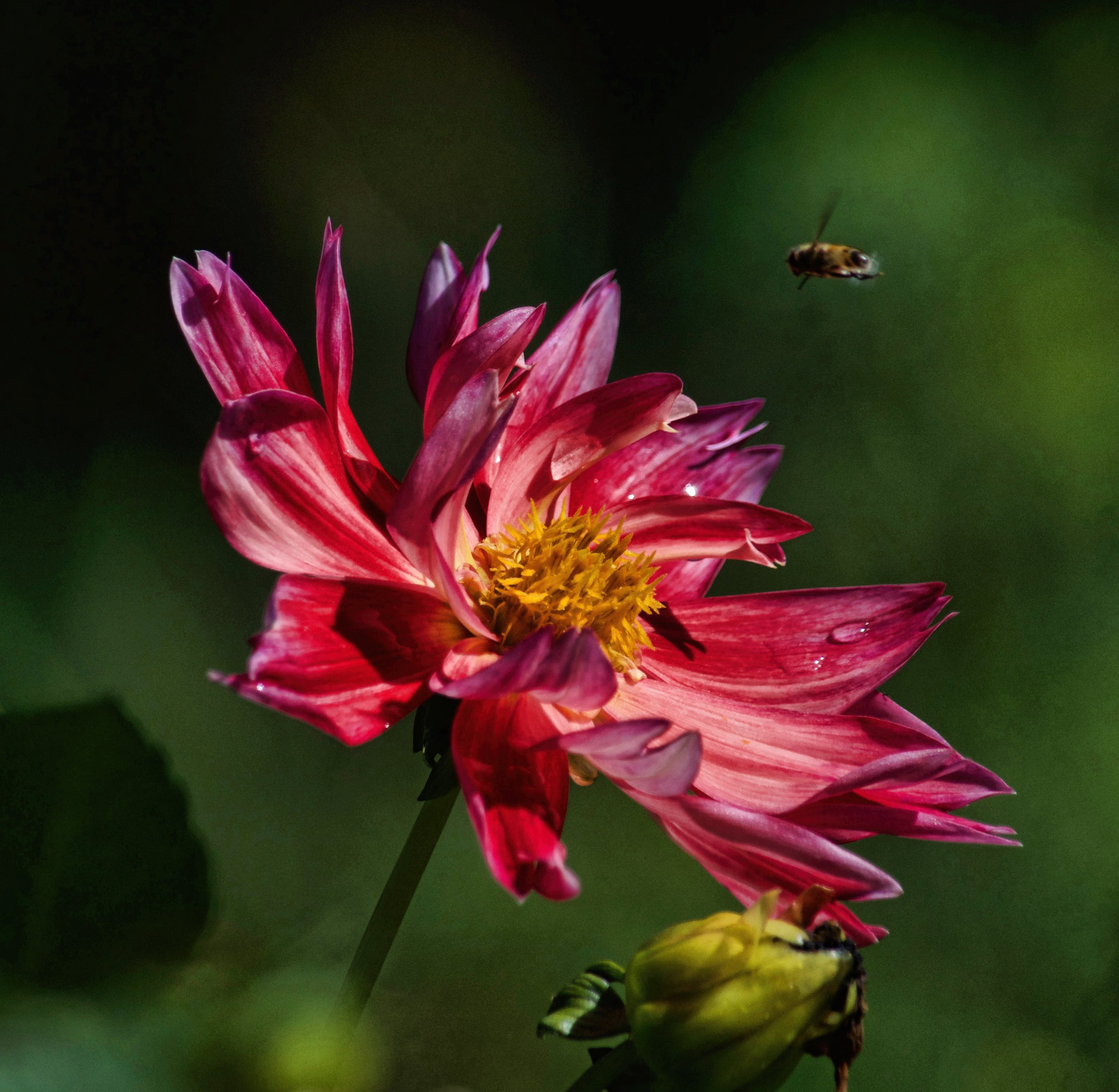 Macro Photography Of Bee Hovering On Pink Petaled Flower