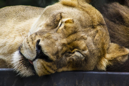 Lioness Closing Its Eyes