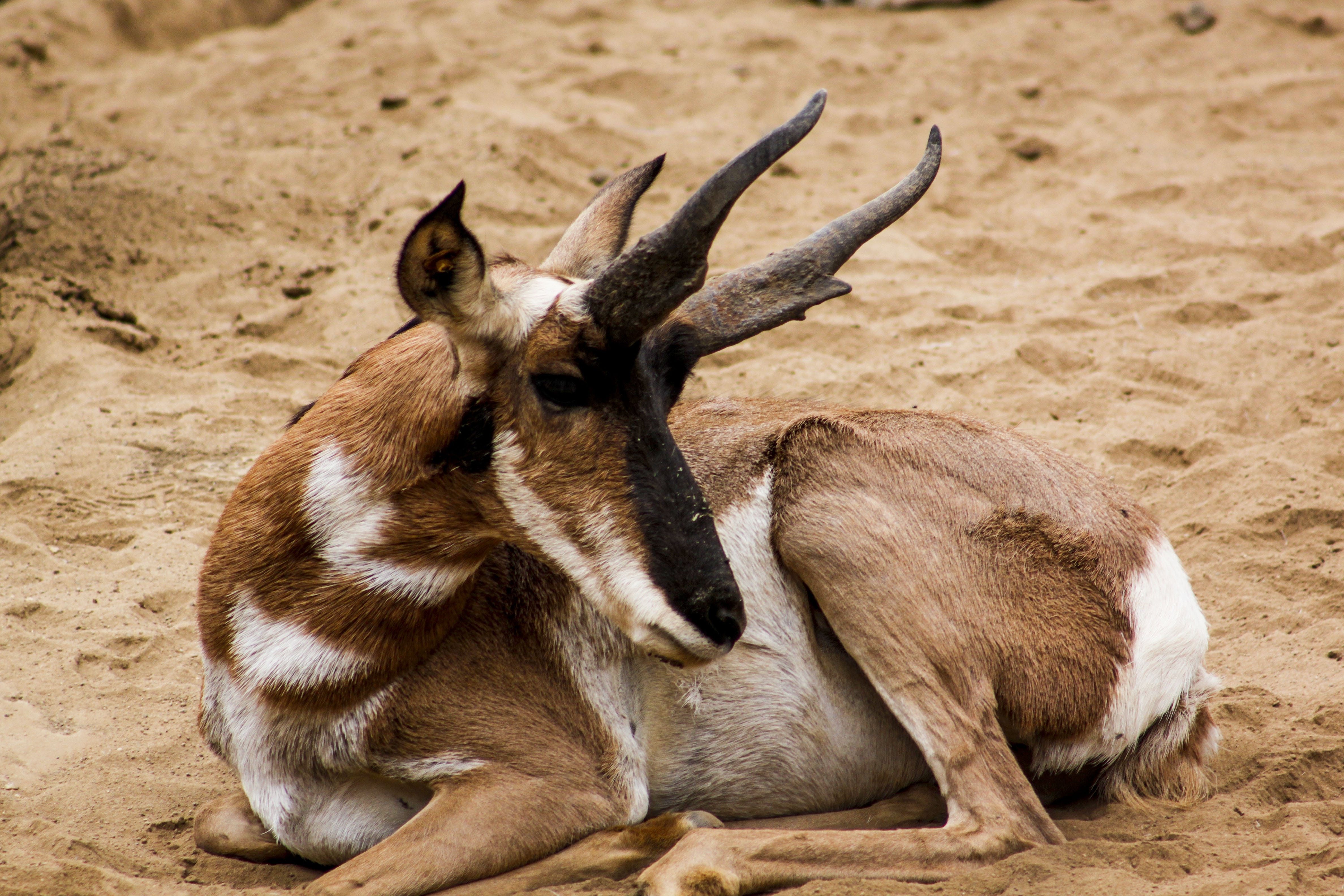 Brown and White Buck Animal