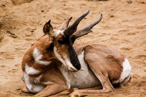 Foto d'estoc gratuïta de animal, animal salvatge, assegut, banyes