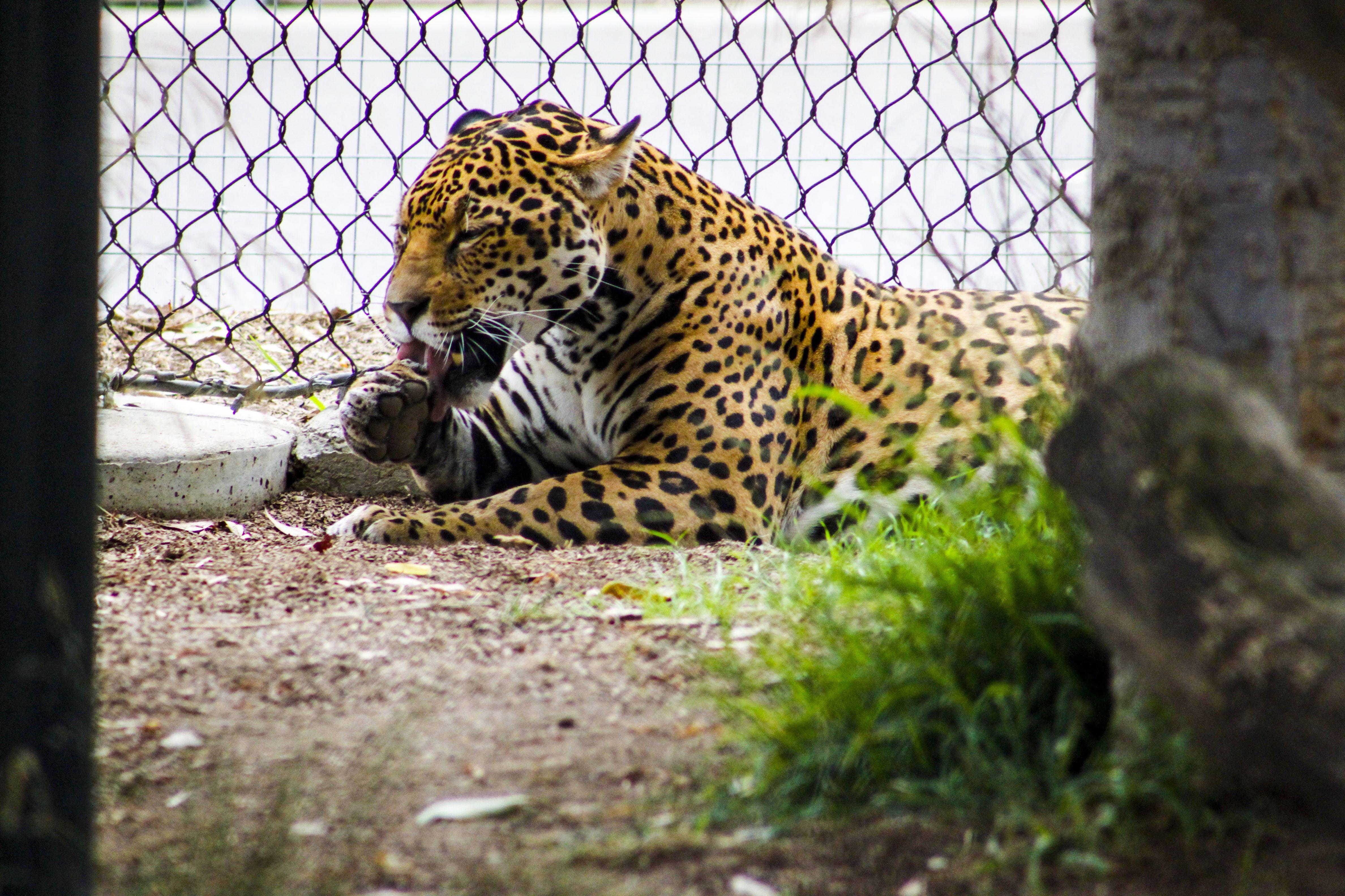 Leopard Lying Beside Gray Metal Chain Link Fence