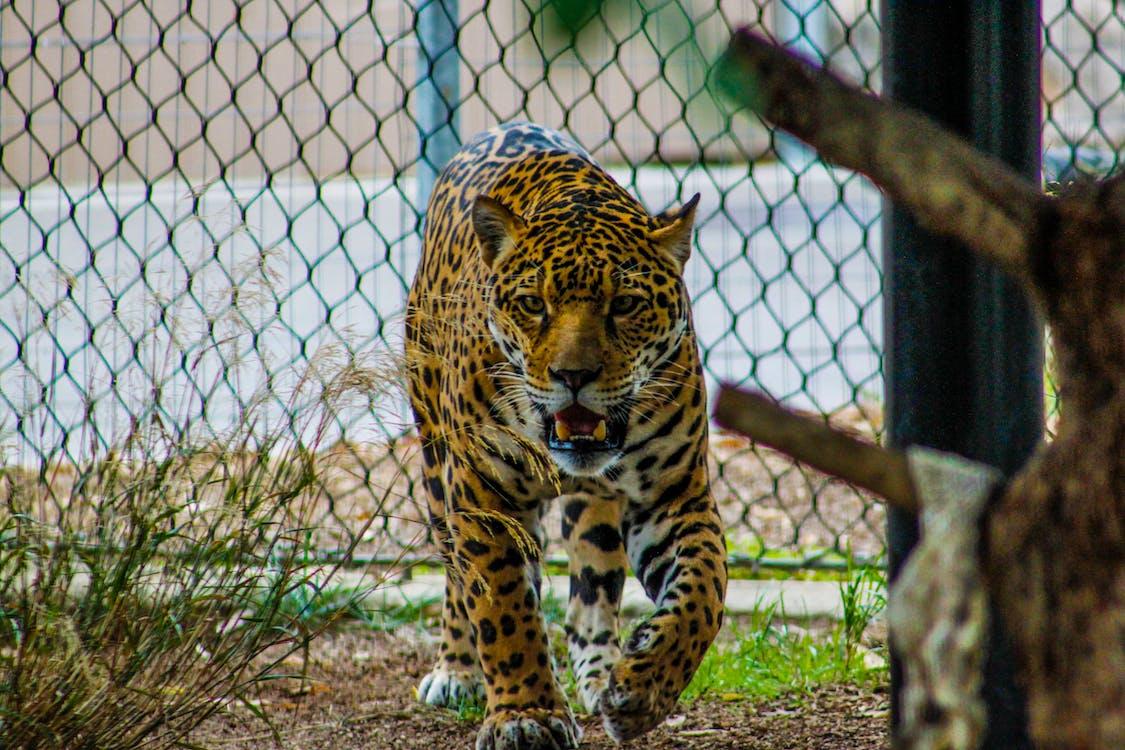 divočina, divoká kočka, divoké zvíře