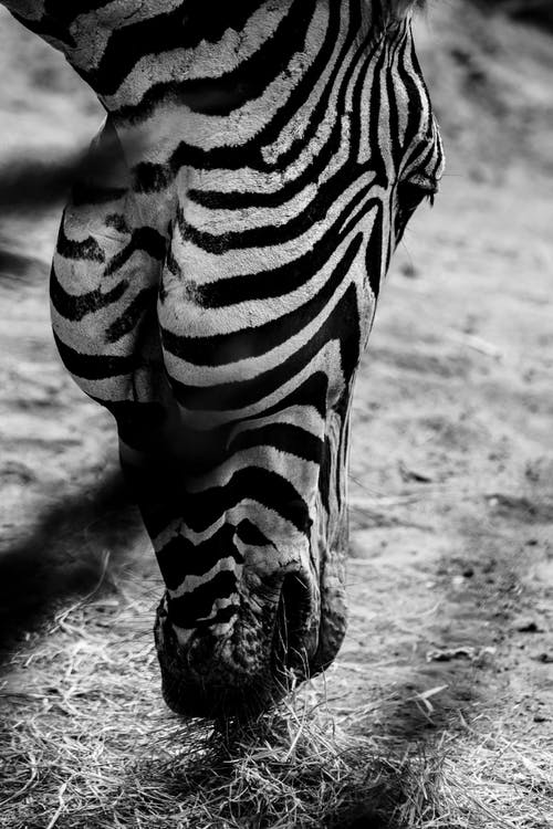 Grayscale Photo of Zebra's Head