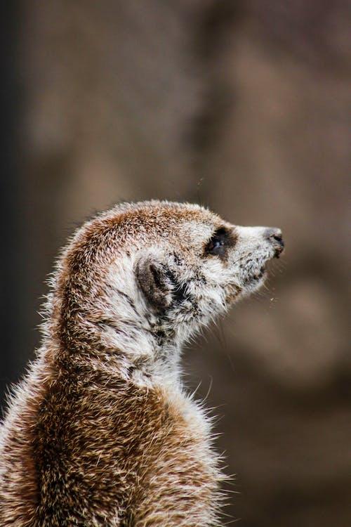 Closeup Photography of Brown Meerkat