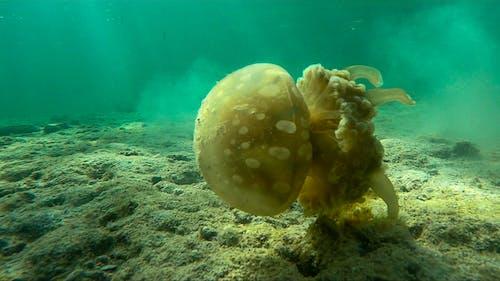 Free stock photo of jelly fish underwater, jellyfish, jellyfish tentacles