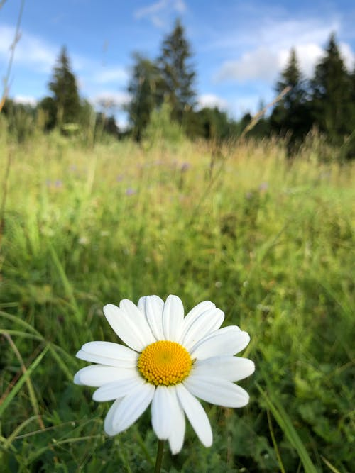 A White Daisy in Bloom