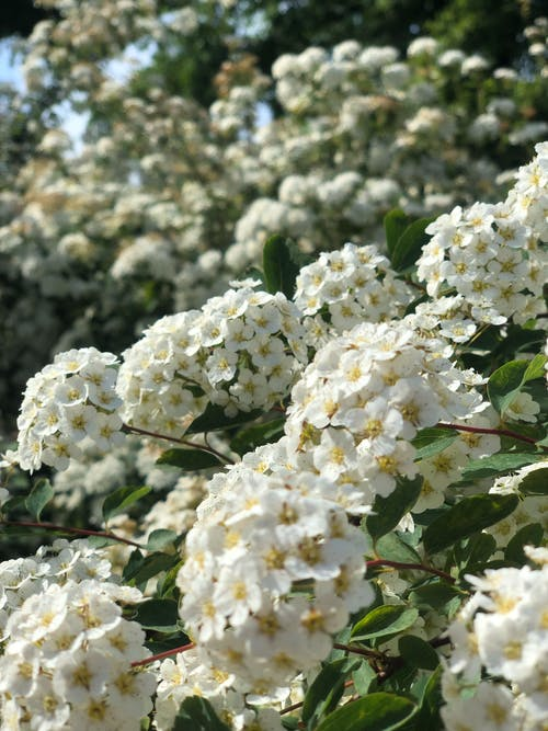 White Flowers in a Tilt Shift Lens
