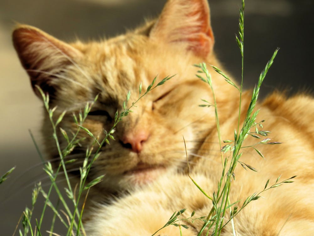 mačka, šlofíka, zdriemnutie