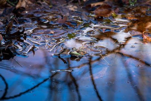 Photos gratuites de amphibien, animal, grenouille