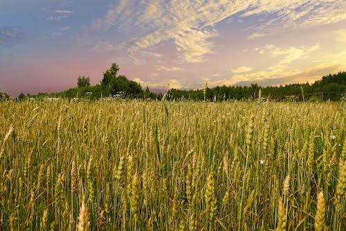 Gratis lagerfoto af bane, hvede, letland, sommer
