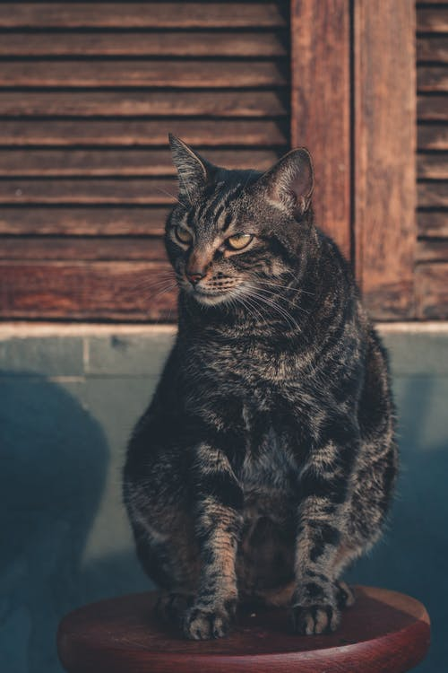 Black and Brown Tabby Cat